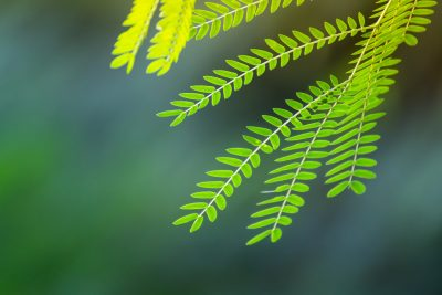 センナの葉