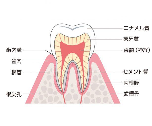 歯の構造 断面図