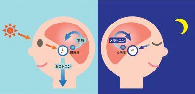 体内時計と睡眠 セロトニンの分泌