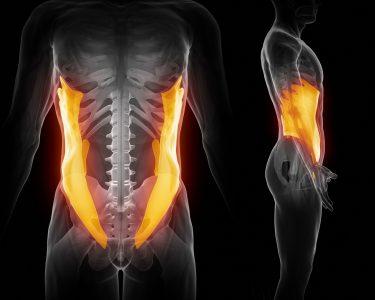 腹斜筋 人体構造図