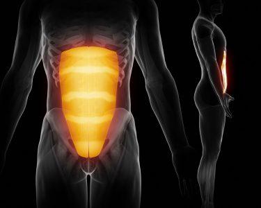 腹直筋 人体構造図