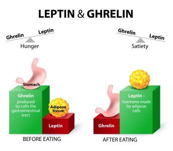 レプチンの働きを示す画像