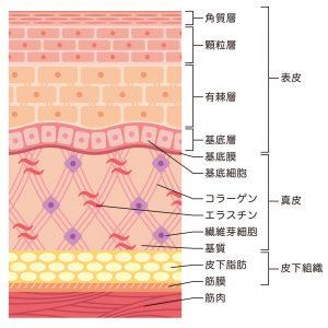 皮膚の構造の断面図 皮下脂肪の場所