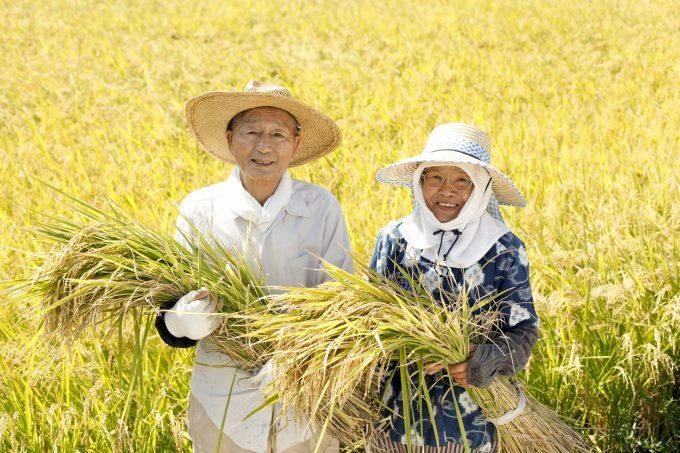 稲刈りをする日本人老夫婦