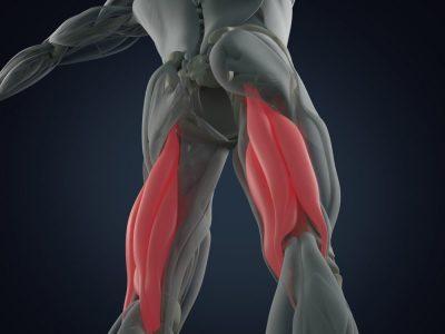 ハムストリング 筋肉構造図